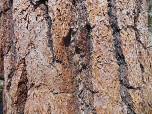 Bark textures of one of the many Pinus species.